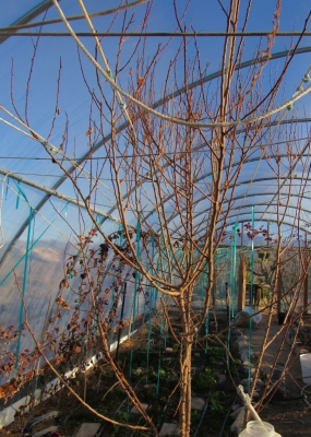 2016-2-10-apricot-1-hoophouse.jpg