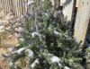 http://highdesertfood.org/wp-content/sp-resources/forum-image-uploads/christine/2016/02/2016-2-2-rosemary-snow.jpg
