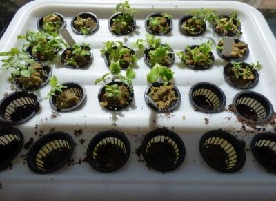2017-10-10-growbox-seedlings.jpg