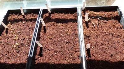 2017-10-10-seedls-in-coco-coir.jpg