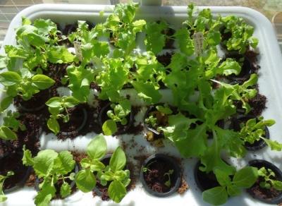 2017-10-16-lettuce-basil-mustard-growbox.jpg